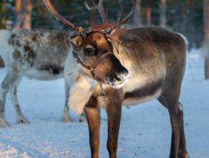 Rentiere in Finnisch Lappland