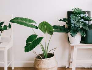 mit Haustier und Kind ungiftige Zimmerpflanze